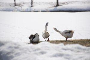 ガチョウと白鳥